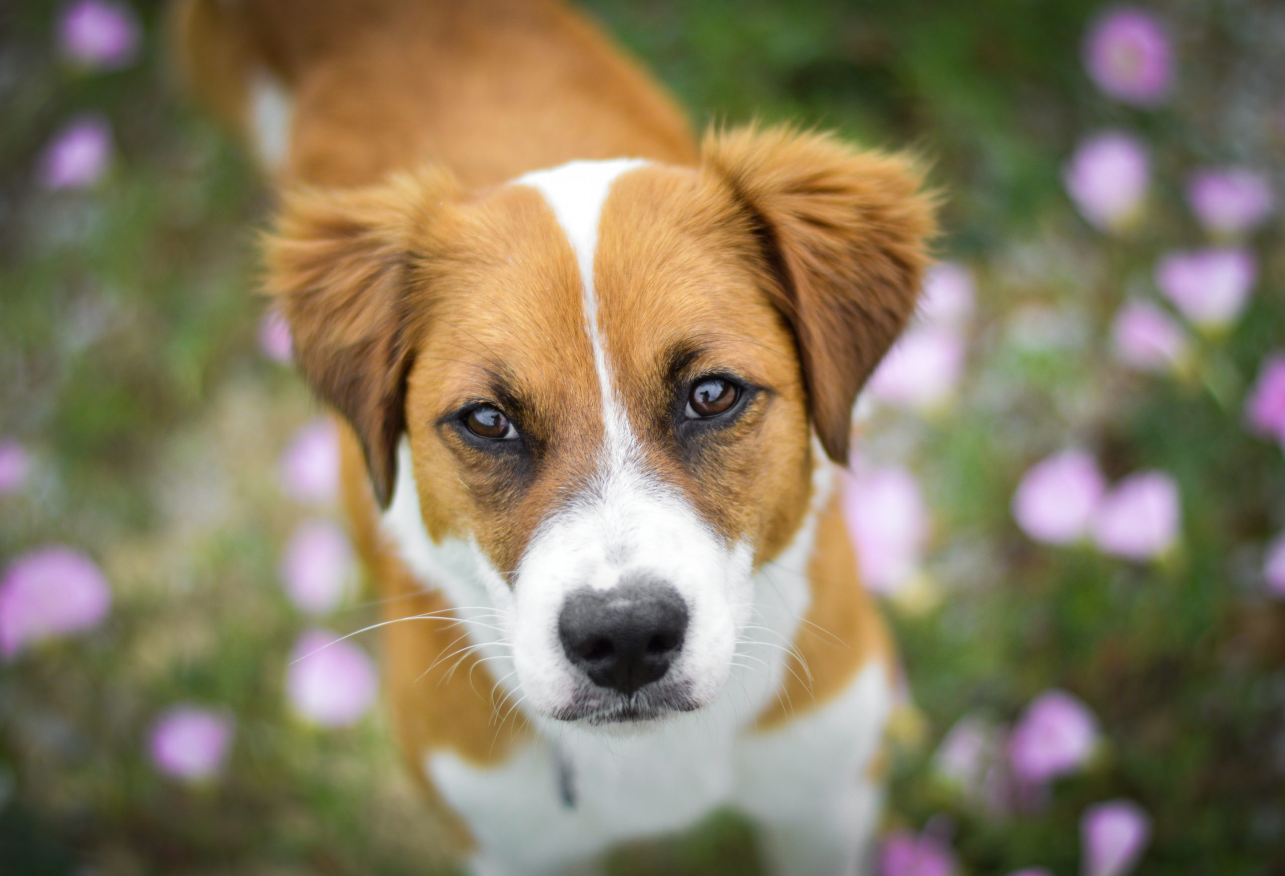 Have A Heart Adopt Dog With Heartworm Disease